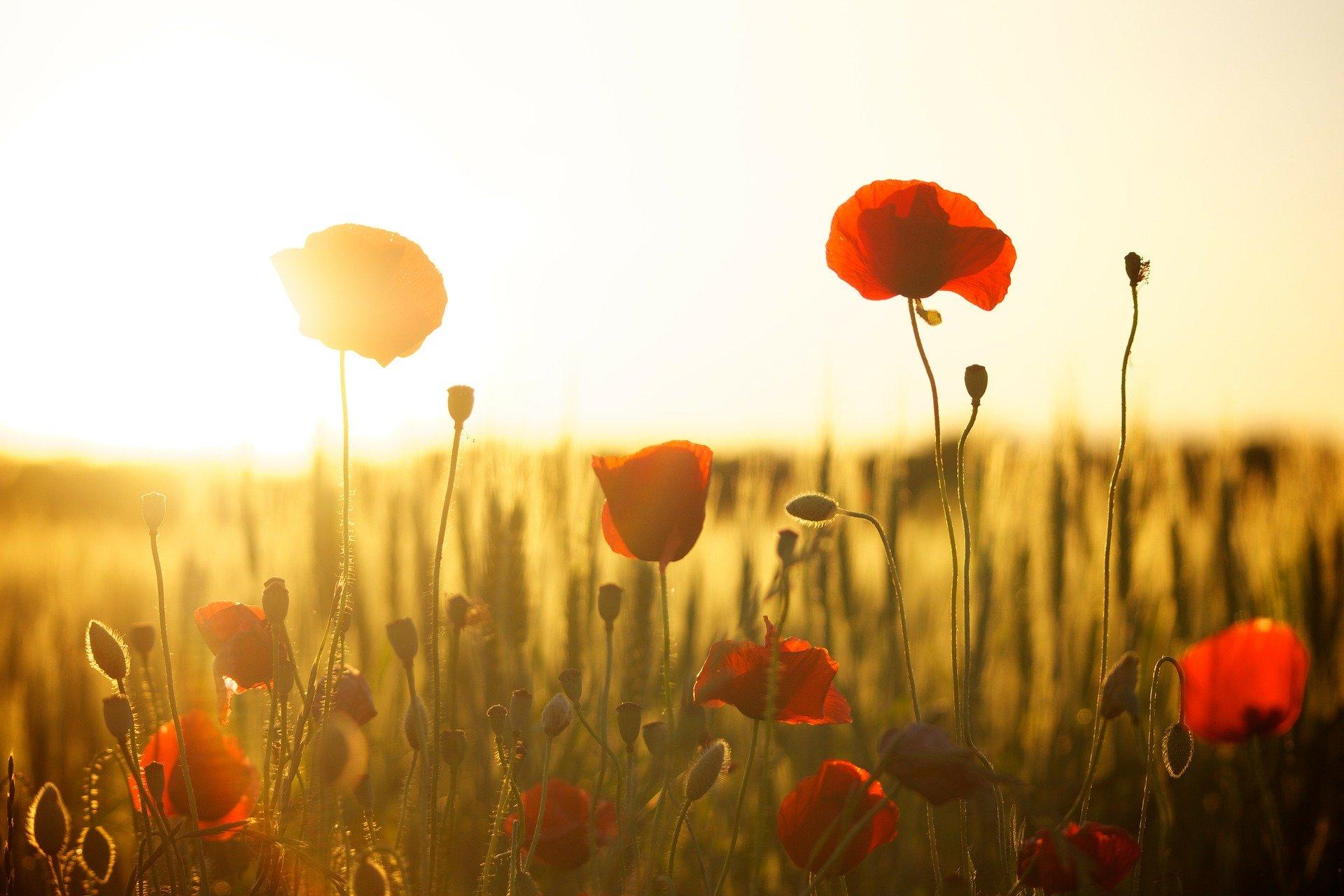 Mohnblumen im Gegengelicht mit Weizenfeld im Hintergrund